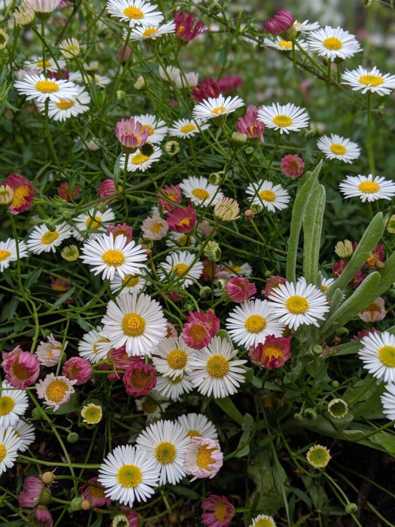 Το άλυσσο και η μπέλλα είναι εποχιακά φυτά, που γεμίζουν με λουλούδια τα παρτέρια και τις γλάστρες, χειμώνα και άνοιξη!