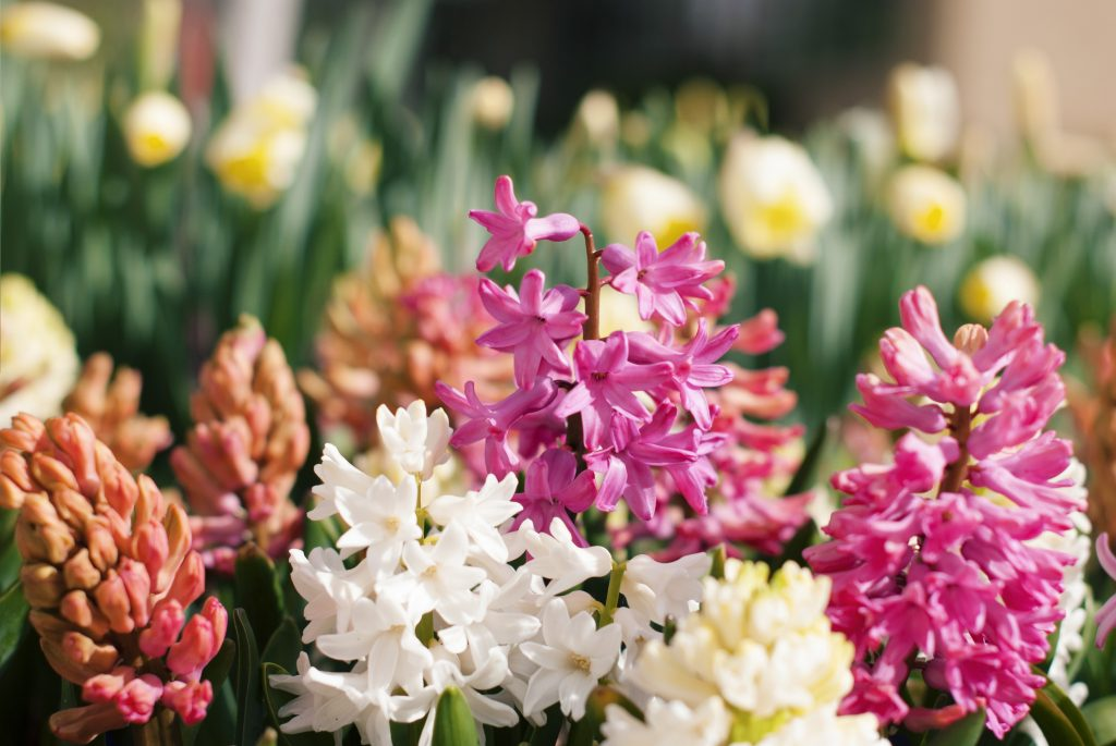 Οι υάκινθοι, τα ευωδιαστά ζουμπούλια διατίθενται σε ποικιλίες με υπέροχα χρώματα, που μπορούν να στολίσουν εξωτερικούς, αλλά και εσωτερικούς χώρους.