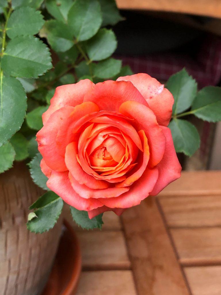 Οι τριανταφυλλιές μπορούν να φυτευτούν παντού, σε γλάστρες και έδαφος.