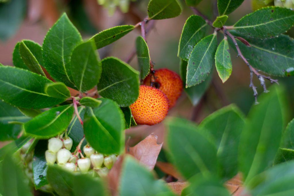 Η κουμαριά είναι ένας όμορφος θάμνος που αποκαλείται και δέντρο με φράουλες!